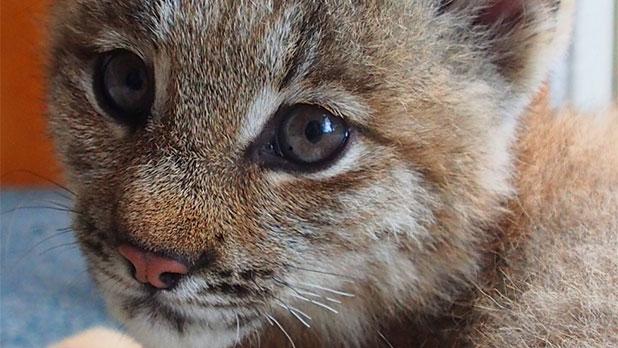 NYS Fair - Wild Cats