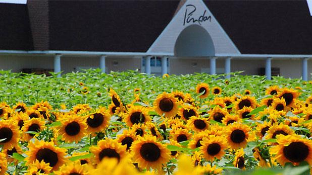 Pindar winery sunflower garden  Photo Courtesy of Pindar Vineyards