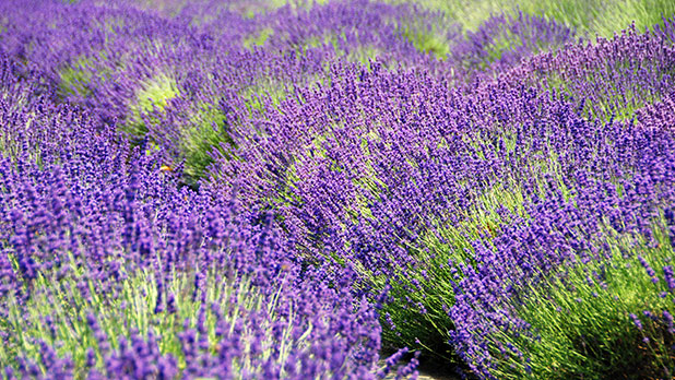lavendar by the bay Photo by Jen Rozenbaum