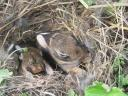 2-week old cottontails