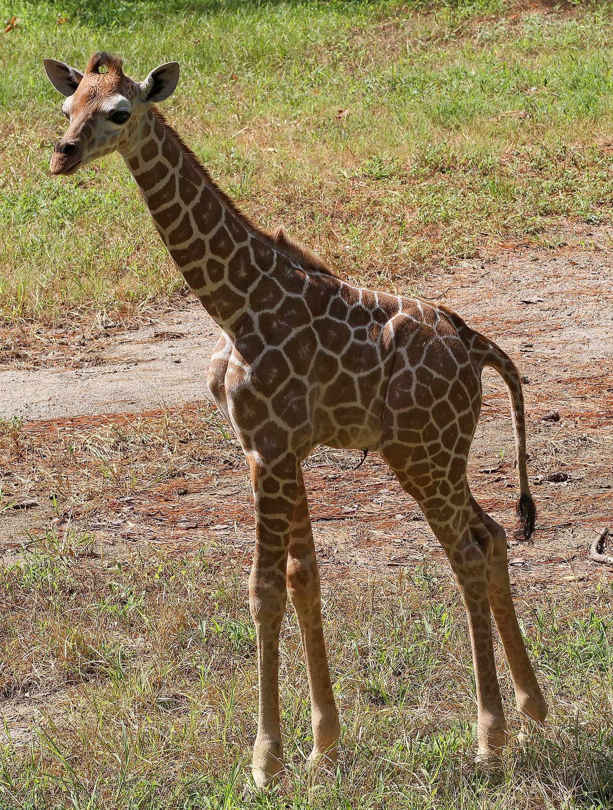 It\'s a Boy! Four-Week-Old Giraffe Calf Now on Exhibit at Riverbanks Zoo