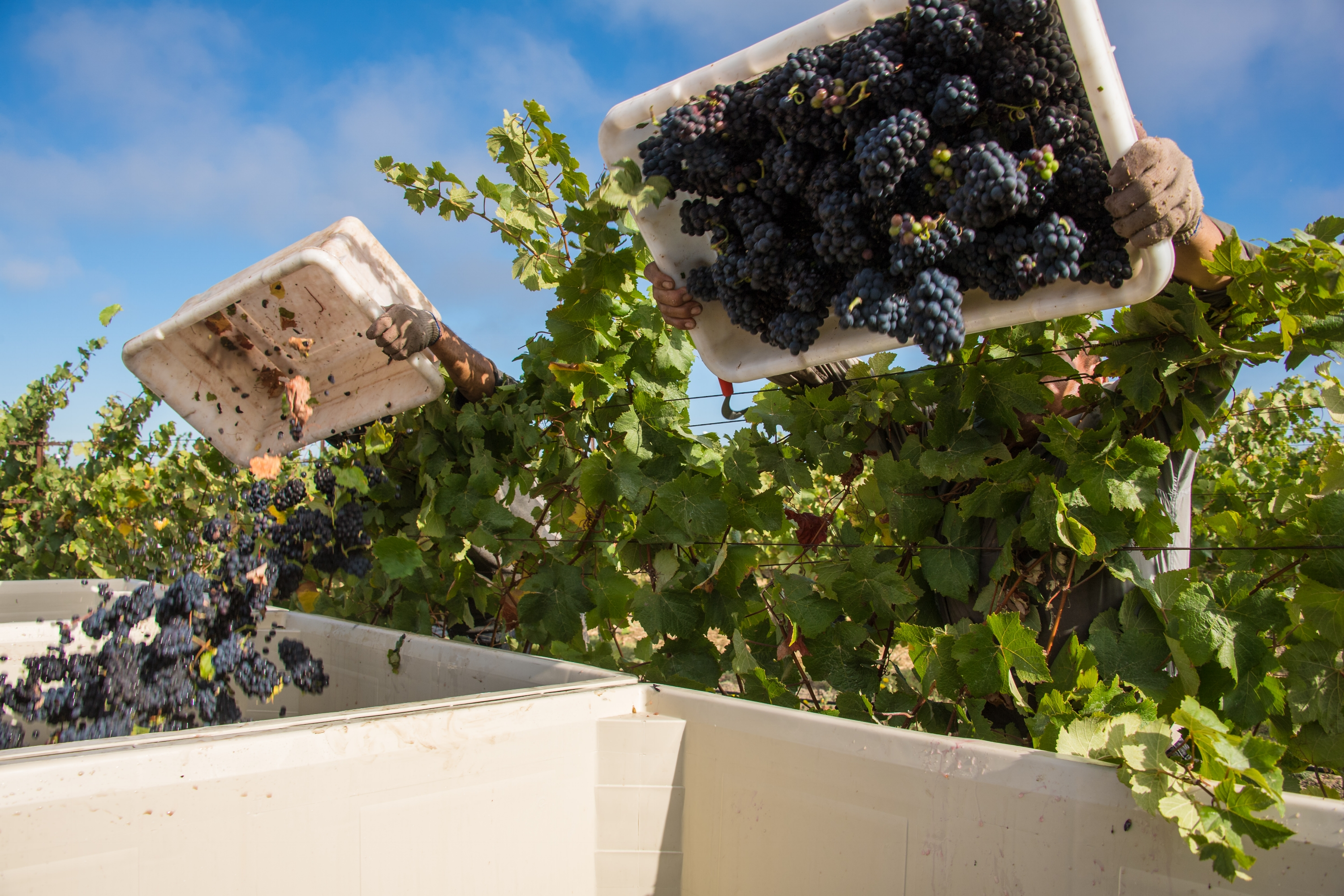 White Wine Grapes Being Harvested
