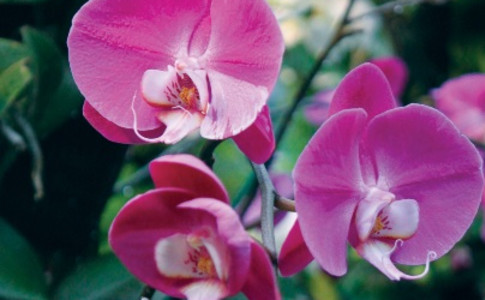 orchids-pink