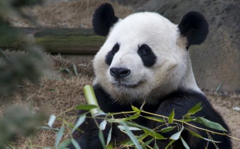 Atlanta-Zoo-Panda-Bamboo-550x367