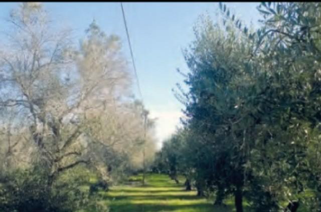 COOPERATIVA SAN BLAI (Pedreguer) XILELLA FASTIDIOSA com parar la seua expansió