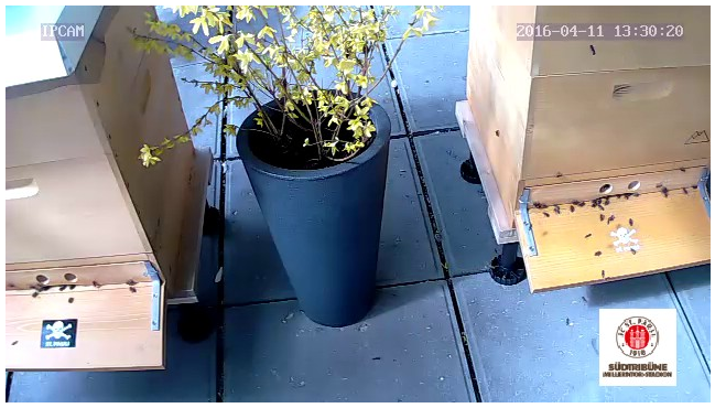 bienen-fcstpauli-webcam