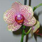 Lyndas_Orchid