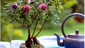 flora-fuchia-bonsai