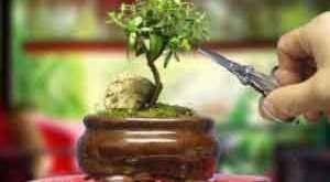 beg_bonsai