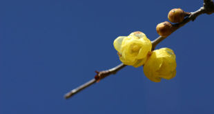 Wintersweet (c) Rosemary