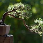 mugo pine in cascade