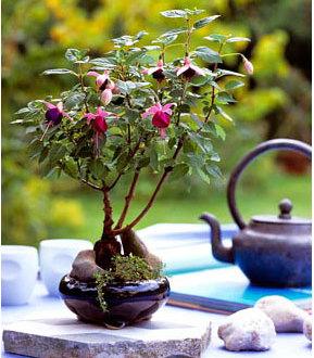flora-fuchia-bonsai