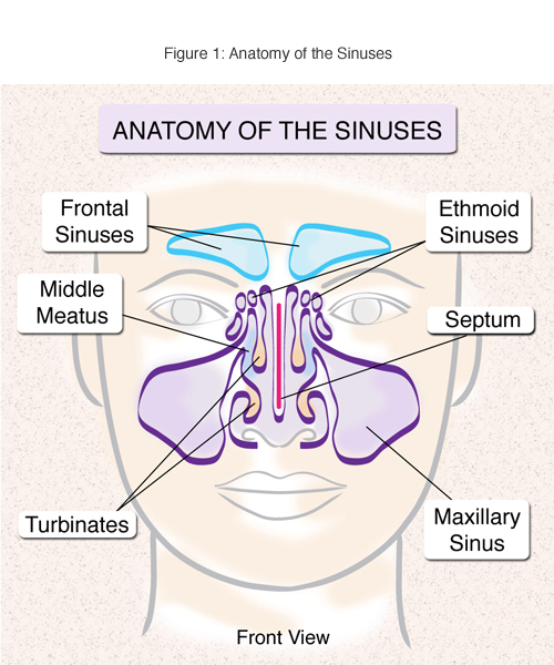 Diagram Of The Sinuses Search For Wiring Diagrams
