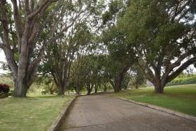 Barbados Mahogany-lined driveway