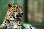 Telly Talk: Leopard spotting
