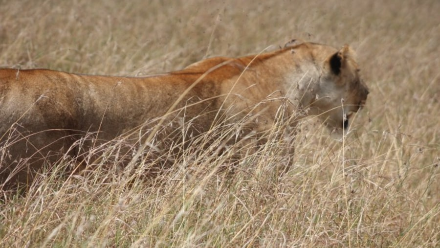 lioness in mara plains