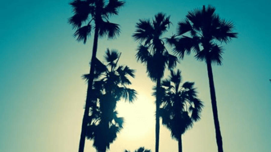 Toddy Palm trees