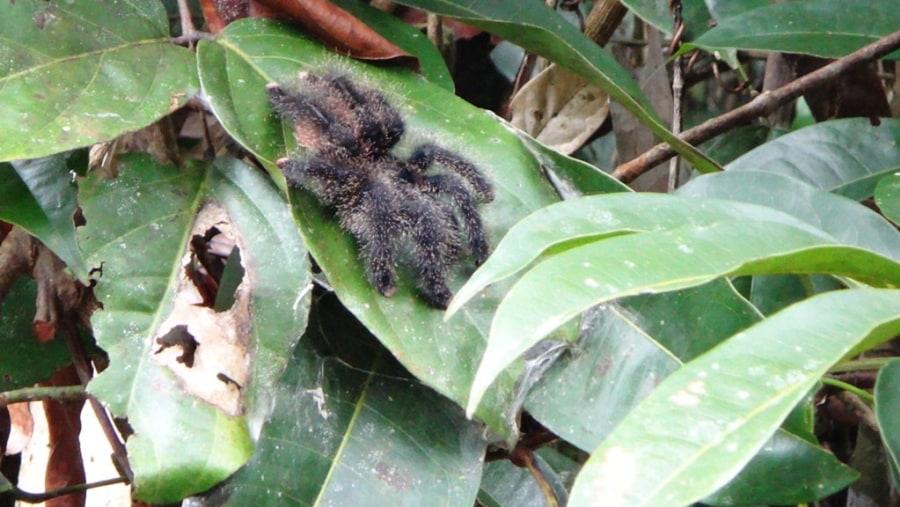 araignée (tarentule)