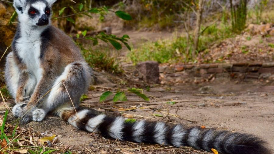 Ring-tailed lemur - catta