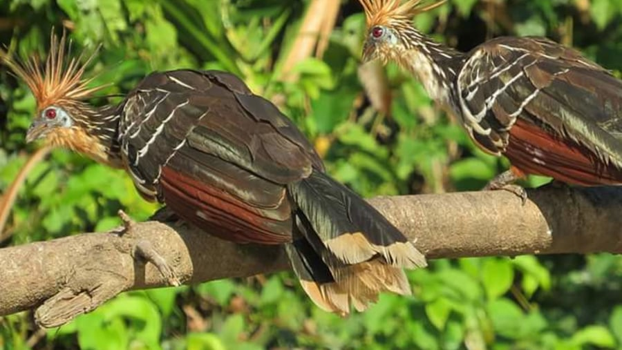 the hoatzin unique bird which has prehitoric realtive