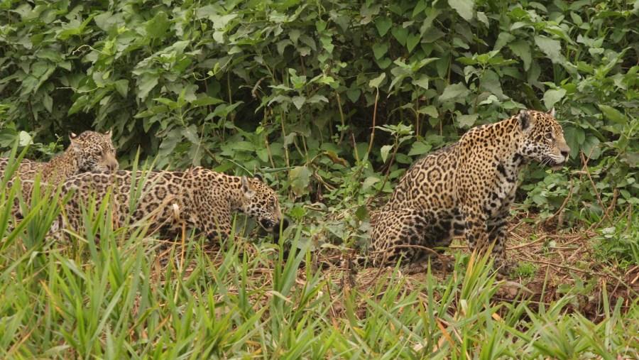Female jaguar with 2 cubs