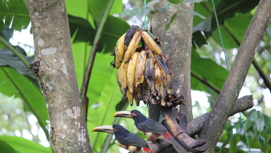 mindo toucan arasari