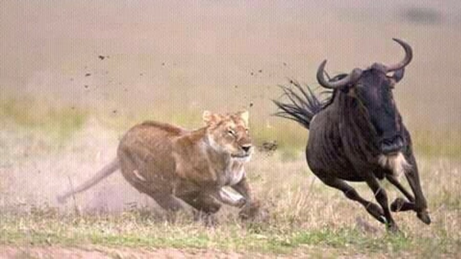 Lion hunting wildebeest