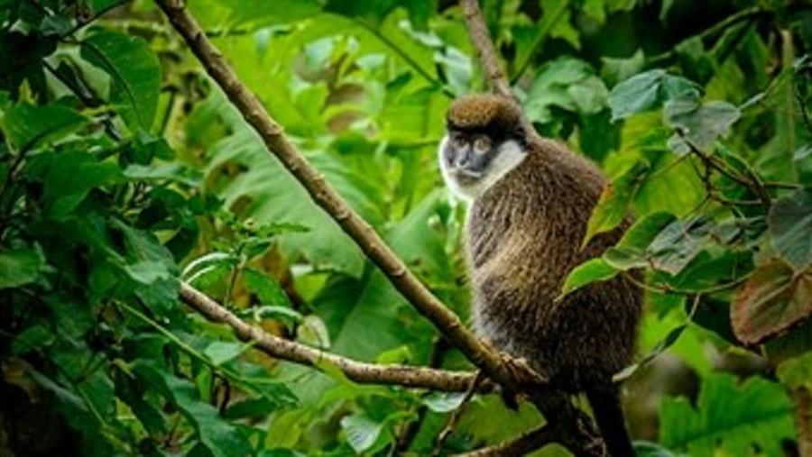 endemic bale monkey
