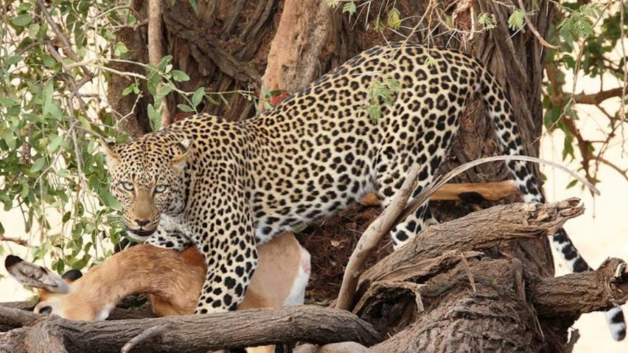 Leopard with a kill