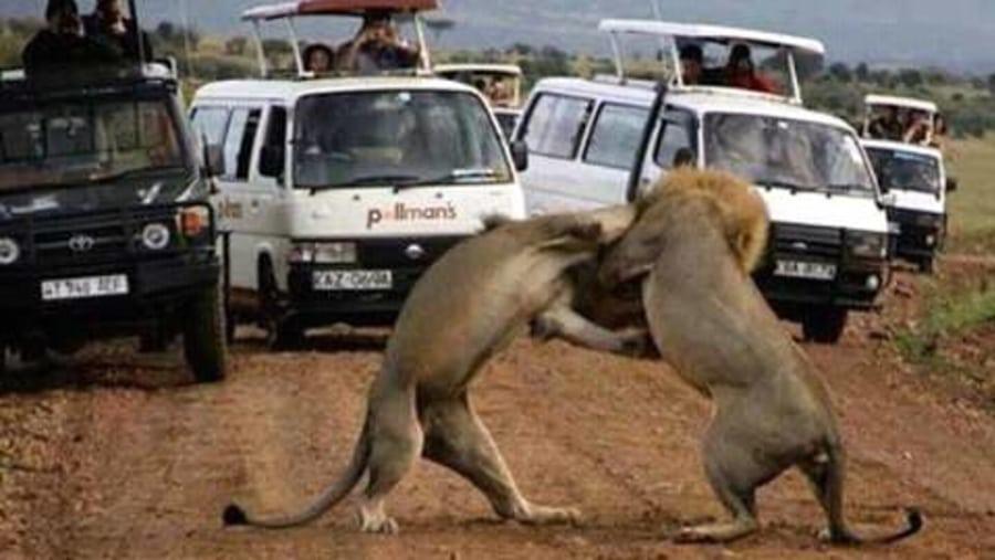Lions fighting