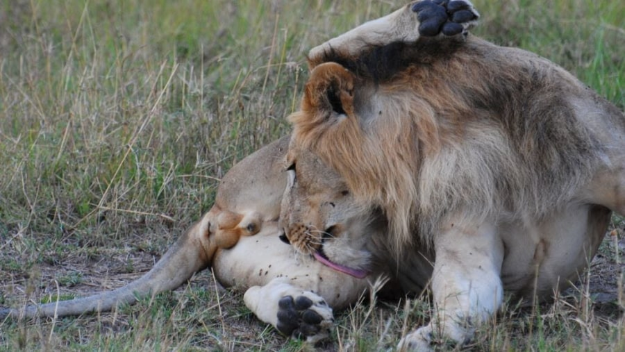 Male Lion Cleaning