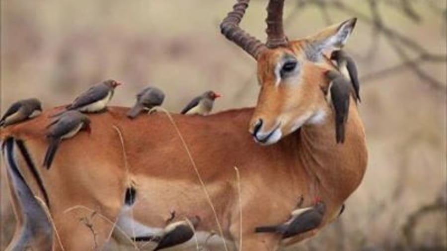 Impala with tick birds