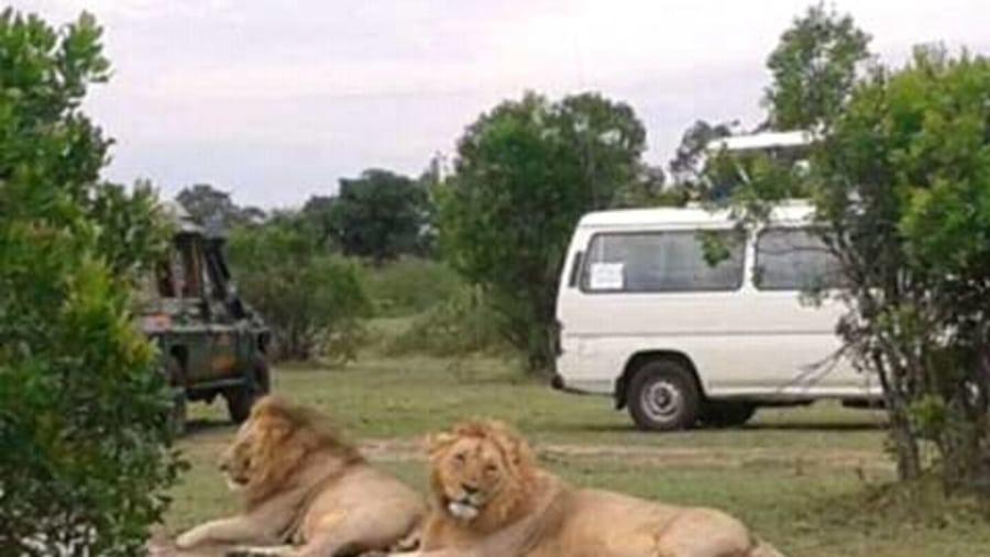Male Lion resting