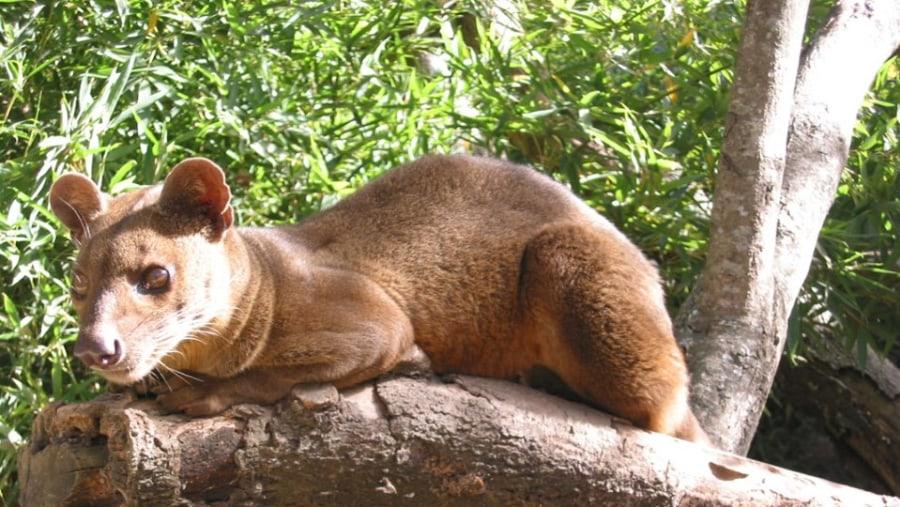 Lemurs Predator (The biggest carnivor of Madagscar)