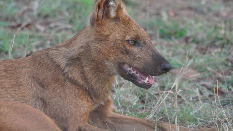 Indian Wild Dog - Dhol