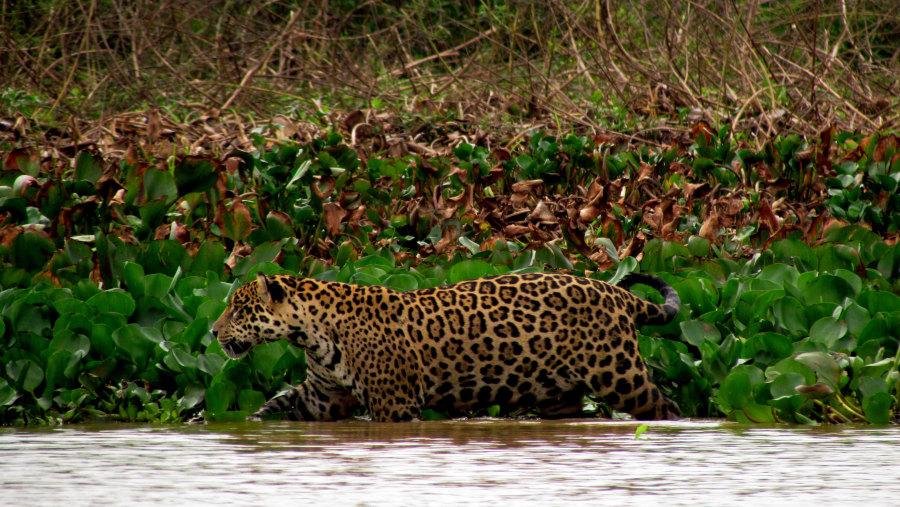 Jaguar hunting along the river edge