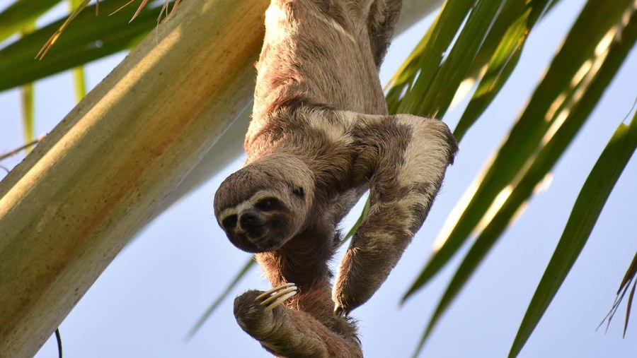 Adorable, Brown Throated three Toed Sloth,