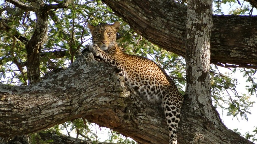 Leopard at Selous Game Reserve