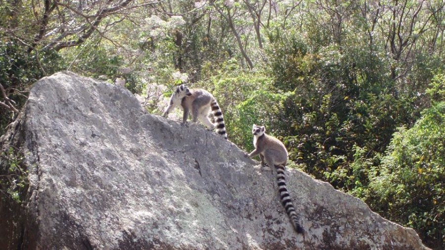 Lemur Catta at Anja reserve Park.