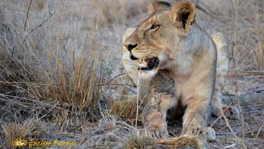 Bloody lioness - Caught by Guide Rhys