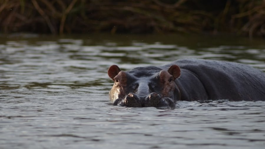 hippo on Lake Chamo