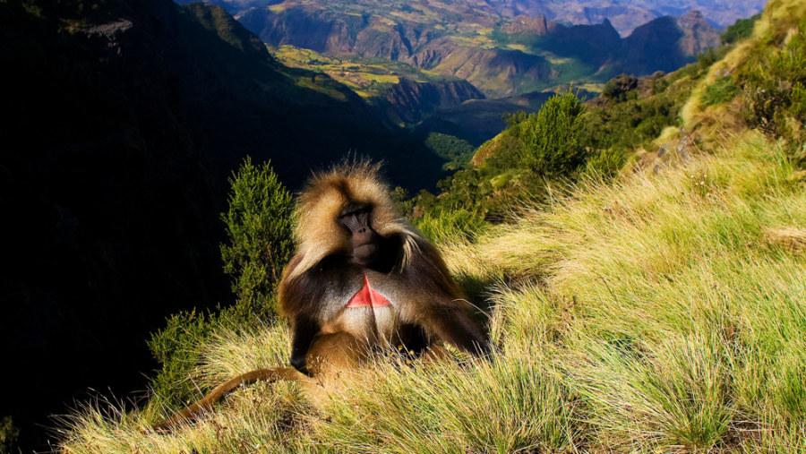 Semen Mountain Baboon