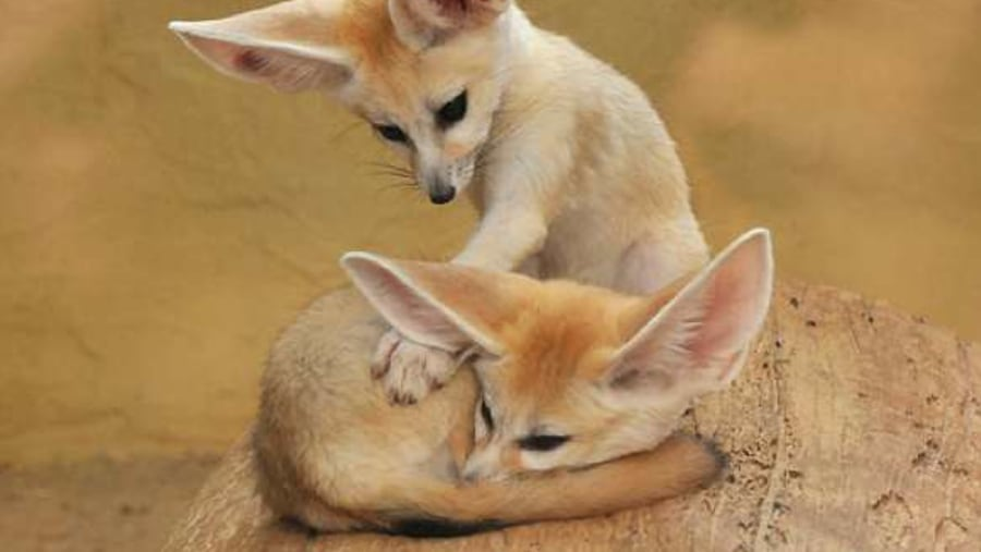 the fennec, tunisia has a lot of exotic animal species