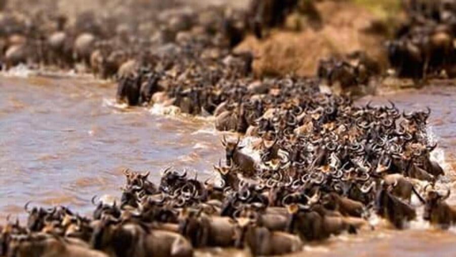 Wildebeest croos mara river