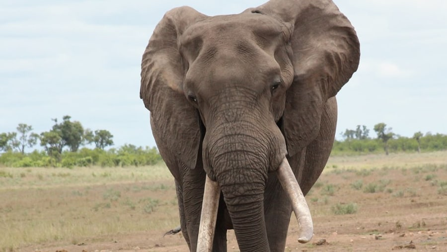 tusker on safari with Alan Tours in the Kruger National Park