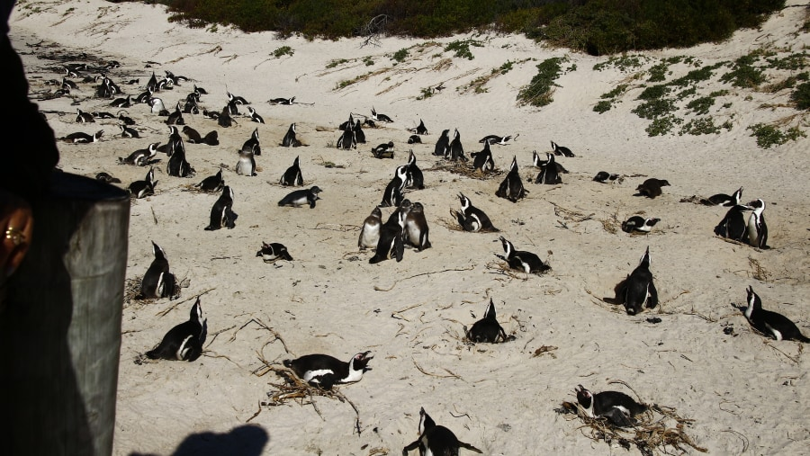 Penguins, Boulders Beach