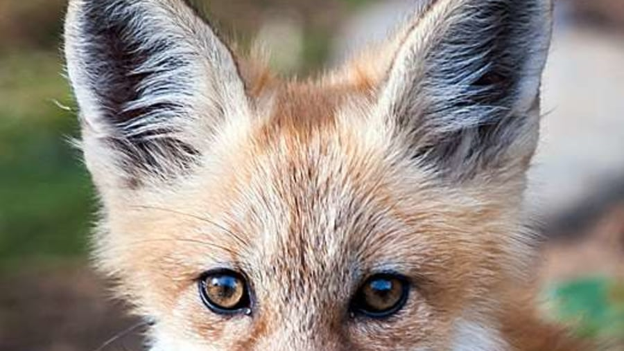 Kit, young fox