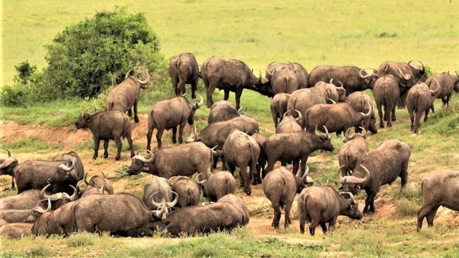 Herd of Cape Buffalo, Addo Elephant National Park