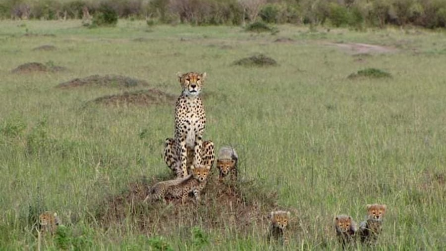 Cheater and her cubs
