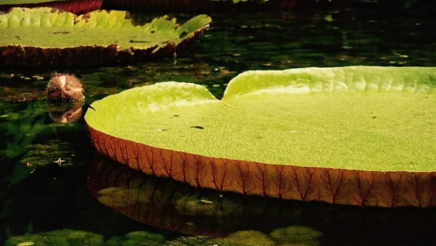 Giant Water Lily